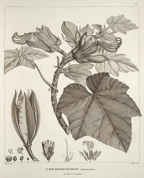 Chiranthodendron pentadactylon, by Alexander von Humboldt, via Wikimedia Commons