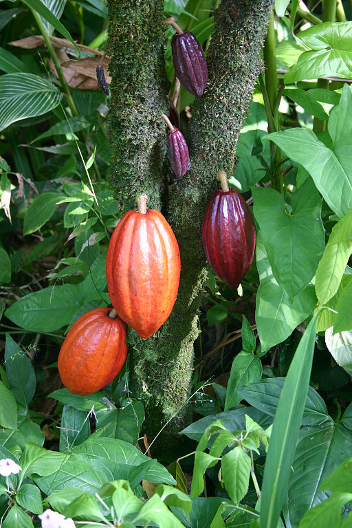 A cacao tree with fruit pods in various stages of ripening. Taken on the Big Island (Hawaii) in the botanical gardens. Photo by Medicaster (2006).