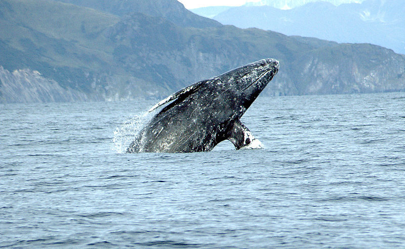 Gray Whale breaching. Attribution: Merrill Gosho, NOAA