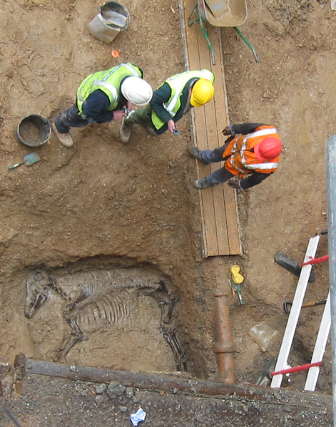 """Horse burial in roman ditch on a development funded site in London. Note """"out of phase"""" pipe intrusion left in for practical reasons. Author: Mididoctors"""