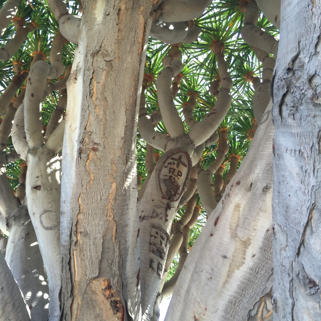 Dragon Tree at the Hotel Del Coronado. Photo: Cathy Hanson